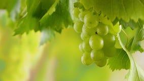 Uvas maduras verdes con las gotas de rocío y hojas de la vid en un viñedo en un día soleado de la cosecha metrajes
