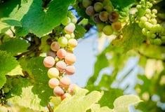 Uvas Materias primas para la producción de vinos, brandy, champán Imágenes de archivo libres de regalías