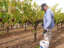 Uvas mayores de la cosecha del hombre en viñedo Foto de archivo