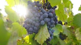 Uvas na planta de videira filme