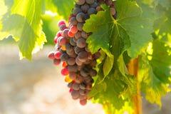Uvas na planta dos vinhedos no dia ensolarado Fotografia de Stock