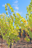 Uvas na videira no Napa Valley de Califórnia Imagem de Stock