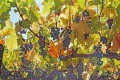 Uvas na videira no Napa Valley de Califórnia Fotos de Stock