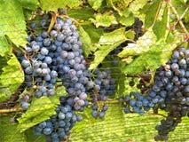 Uvas na videira no vinhedo de Gervasi Imagem de Stock