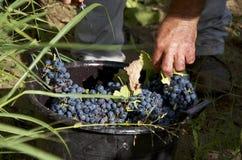 Uvas negras en un cuenco y un detalle de manos campesinas Foto de archivo
