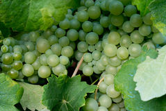Uvas no fim do vinhedo acima Foto de Stock