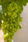 Uvas no maduras Imagenes de archivo