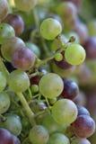 Uvas no vine2 Imagens de Stock Royalty Free