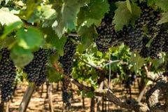 Uvas no vinhedo imagem de stock