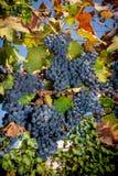 Uvas no vinhedo fotos de stock