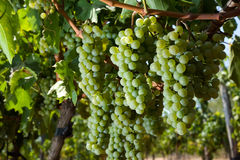 Uvas no vinhedo Fotos de Stock Royalty Free