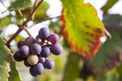 Uvas no vinhedo fotografia de stock