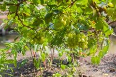 Uvas no vinhedo em um dia ensolarado Imagens de Stock