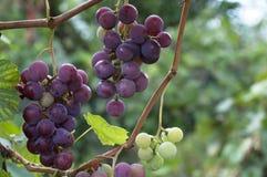 Uvas orgânicas Foto de Stock