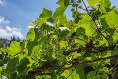 Uvas orgânicas verdes que penduram da videira com os troncos de árvore velhos foto de stock royalty free