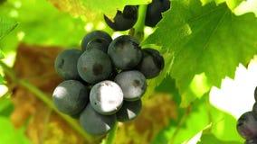 uvas oscuras en el sol Hojas de la fruta y de la uva almacen de metraje de vídeo