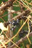 Uvas oscuras en otoño fotografía de archivo libre de regalías