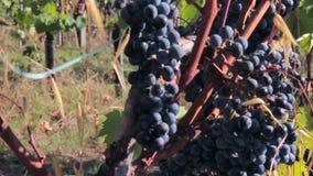 Uvas oscuras maduras en la vid en un día soleado del otoño metrajes