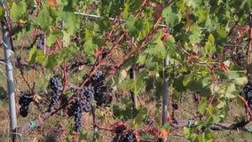 Uvas oscuras maduras en las ramas de la vid y las hojas verdes enormes de la uva en el sol almacen de video