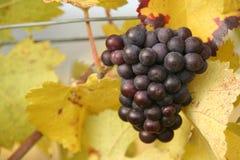 Uvas púrpuras deliciosas en las hojas amarillas Fotos de archivo