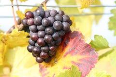 Uvas púrpuras deliciosas en las hojas amarillas Fotos de archivo libres de regalías