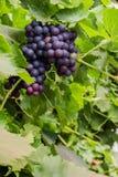 Uvas púrpuras en la vid Imagen de archivo libre de regalías