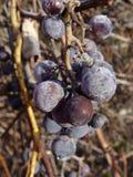 Uvas púrpuras en vides en caída Fotografía de archivo libre de regalías