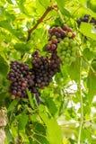 Uvas púrpuras y verdes en la vid Foto de archivo