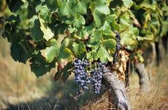 Uvas para el vino Fotografía de archivo