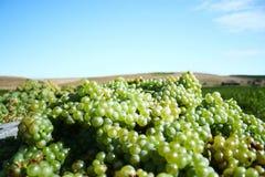 Uvas para el vino blanco Imagen de archivo libre de regalías