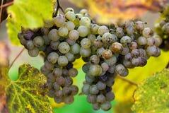 Uvas para el vino de Jurancon Imagen de archivo