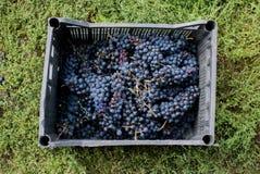 Uvas para el vino en no no mismo buenas condiciones Imágenes de archivo libres de regalías