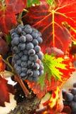 Uvas para o winemaking Foto de Stock