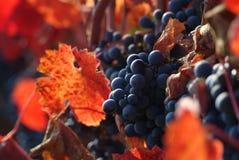 Uvas para vinho fotografia de stock royalty free