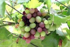 Uvas para vinho Fotos de Stock