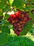Uvas para vinho Imagem de Stock