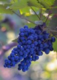 Uvas para vinho azuis fotografia de stock royalty free