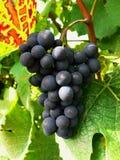 Uvas para vinho azuis Fotografia de Stock