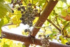 Uvas para vinho azuis das uvas das uvas escuras do fundo das uvas do vinho tinto Imagem de Stock