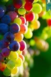 Uvas para vinho azuis de amadurecimento Fotografia de Stock Royalty Free
