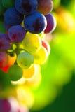 Uvas para vinho azuis de amadurecimento Fotografia de Stock