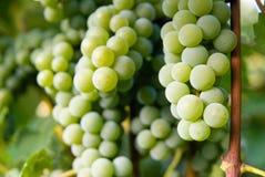 Uvas para vinho brancas Fotos de Stock Royalty Free