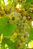 Uvas para vinho brancas Imagens de Stock Royalty Free