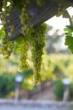 Uvas para vinho brancas Imagem de Stock Royalty Free