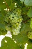 Uvas para vinho brancas Fotografia de Stock Royalty Free