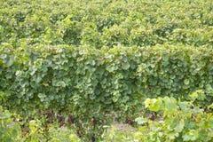 Uvas para vinho brancas #2 de Gewurtztraminer Imagem de Stock Royalty Free