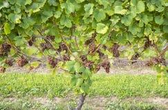 Uvas para vinho brancas #1 de Gewurtztraminer Foto de Stock