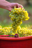 Uvas para vinho brancas em umas cubetas vermelhas Fotografia de Stock Royalty Free
