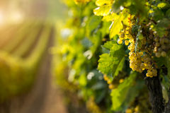 Uvas para vinho brancas no vinhedo
