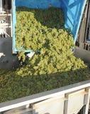 Uvas para vinho brancas que estão sendo esmagadas imagens de stock